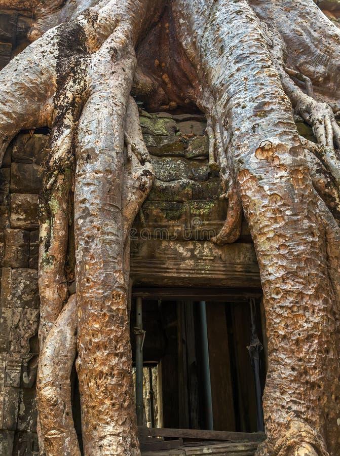 Баньян в животиках Prohm руин окна, Камбодже стоковое изображение