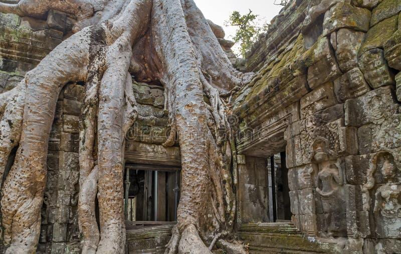 Баньян в Камбодже стоковые изображения