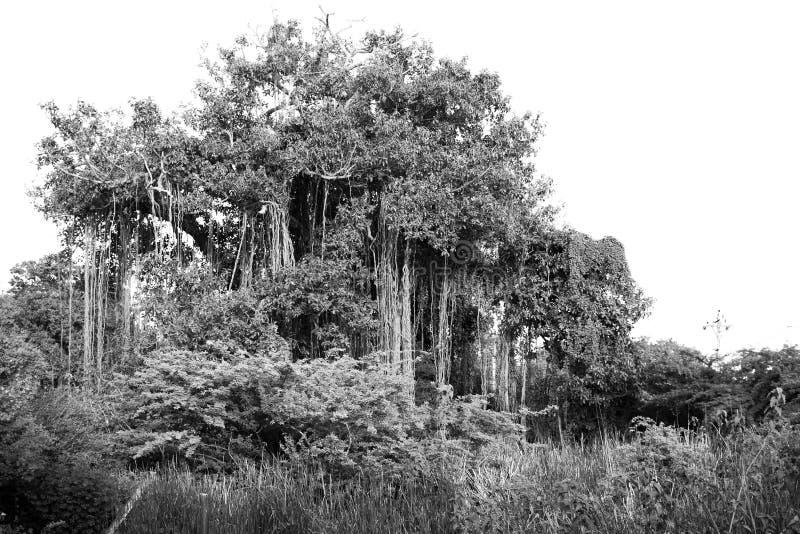 Баньян в месте remote уединения стоковые фотографии rf