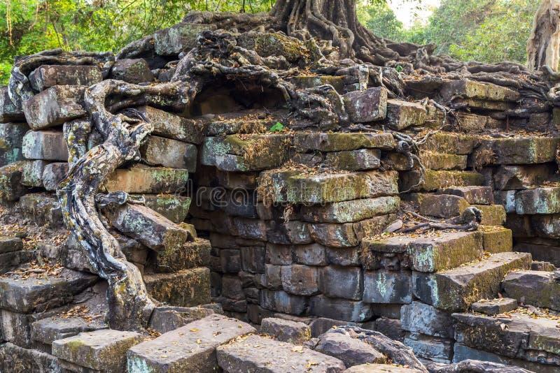 Баньян в руинах Angkor Wat, Siem Reap, Камбодже стоковое изображение
