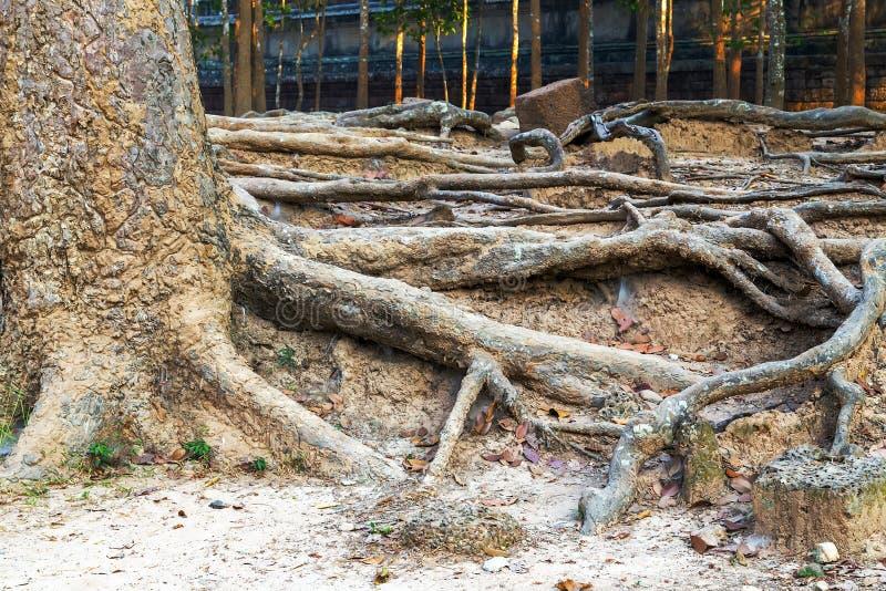 Баньян в руинах Angkor Wat, Siem Reap, Камбодже стоковое фото