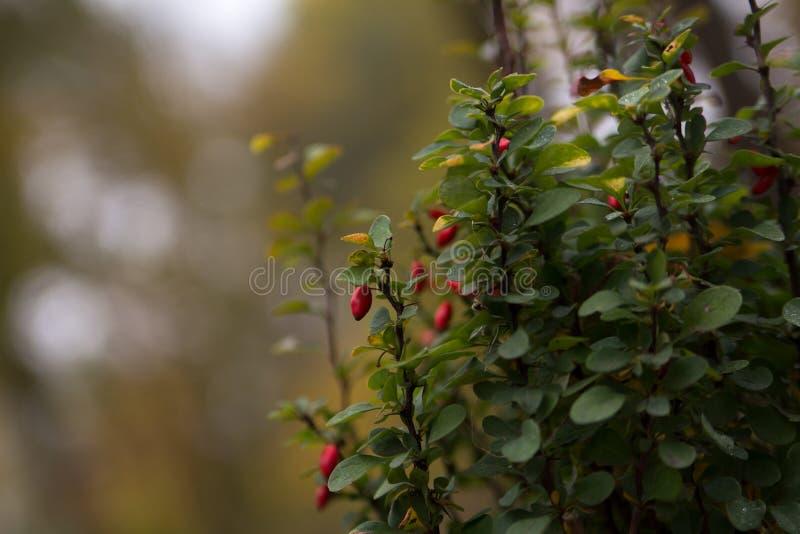 Барбарис vulgaris l куст с плодоовощ стоковая фотография
