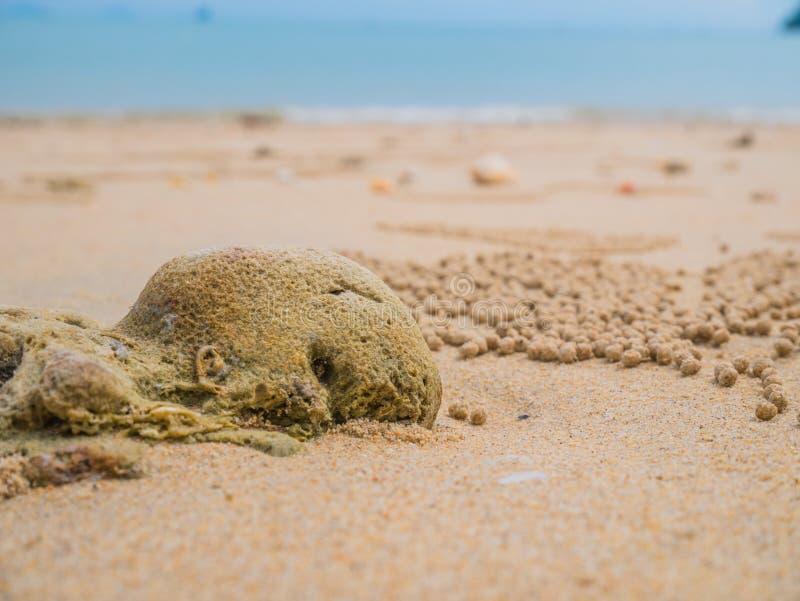 Барботер песка Crabs научный Subfamily: Ceratophthalmus Ocypode стоковое фото rf