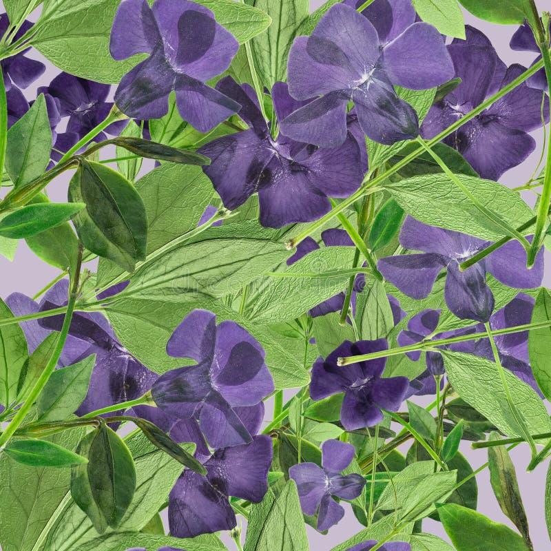 барвинок Безшовная текстура картины отжатых сухих цветков стоковое изображение