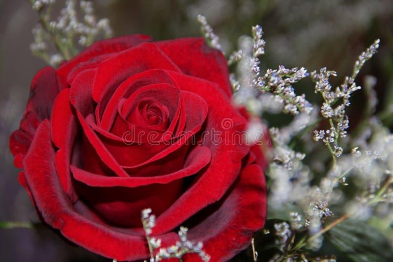 Бархатистые цветения красной розы стоковая фотография