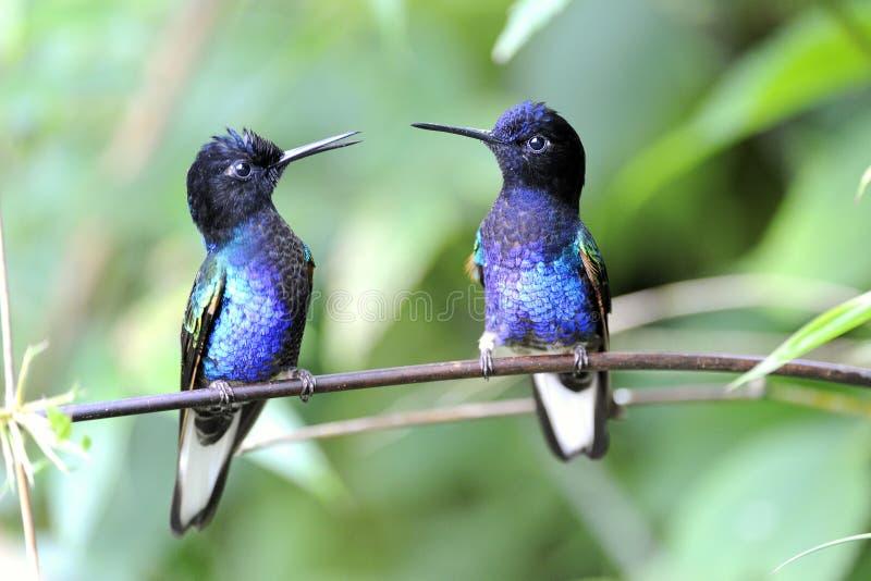бархат пурпура hummingbird coronet стоковое фото rf