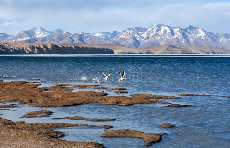 Бар-головая гусыня летая на озеро Manasarovar в Тибете стоковое изображение rf