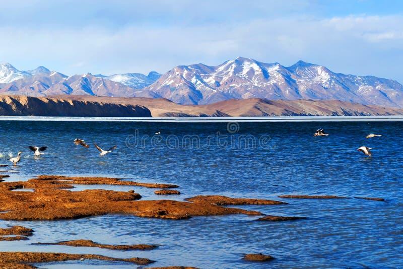 Бар-головая гусыня летая на озеро Manasarovar стоковая фотография