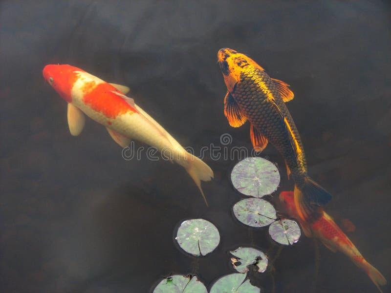 бассеин koi goldfish стоковое изображение rf