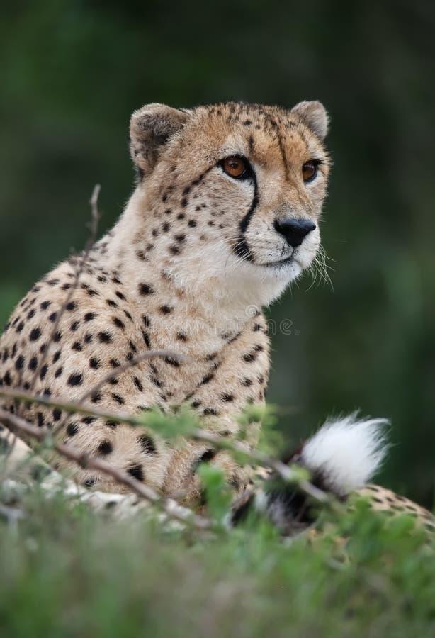 Бдительная дикая кошка гепарда с запятнанным мехом стоковое фото rf