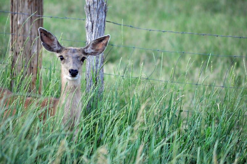 Бдительная молодая лань оленей осла в поле альфальфы стоковое изображение rf