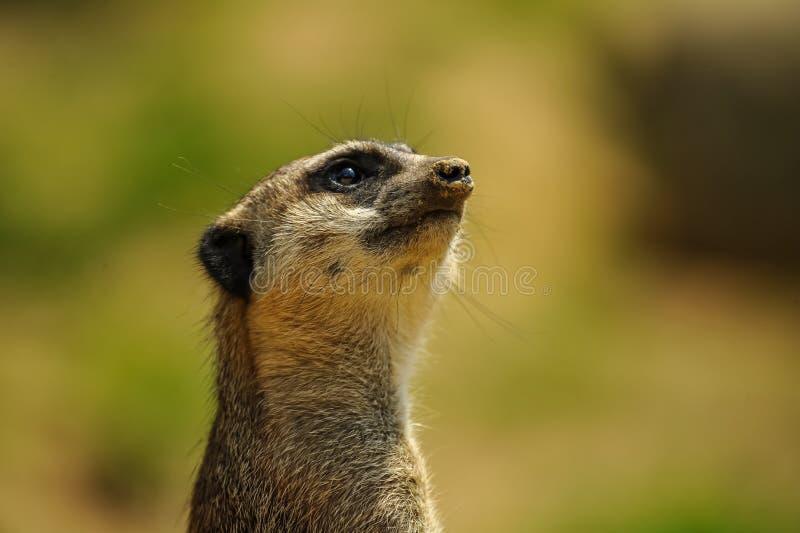 Бдительное meerkat наблюдая верхний портрет стоковые изображения