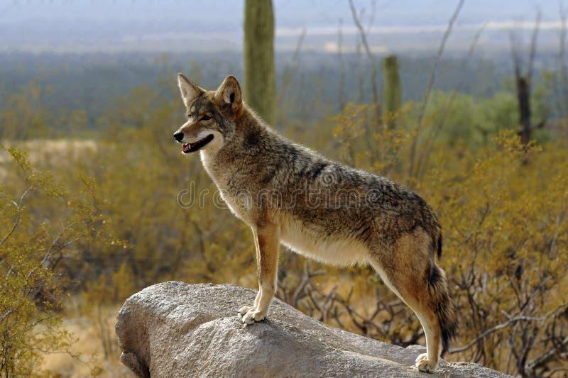 Бдительность койота в пустыне стоковое фото rf