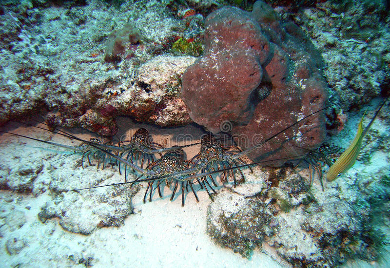 бдительные омары стоковые изображения rf