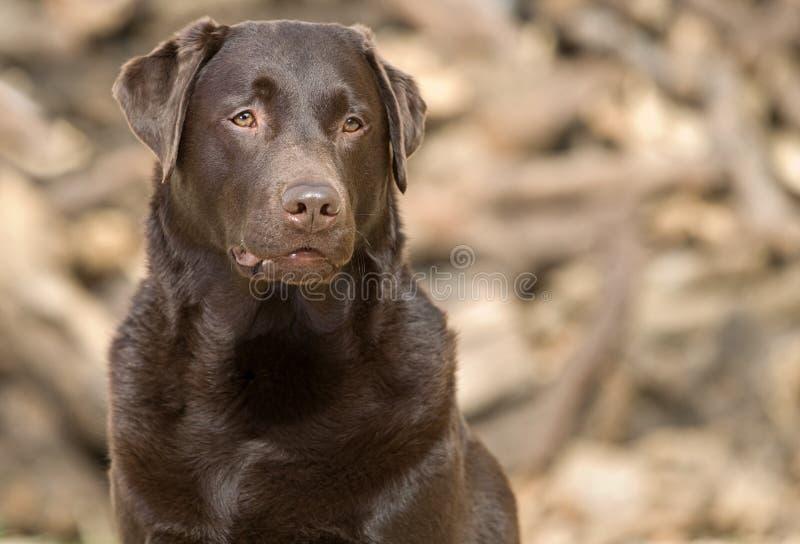 бдительный шоколад красивый labrador стоковое фото rf