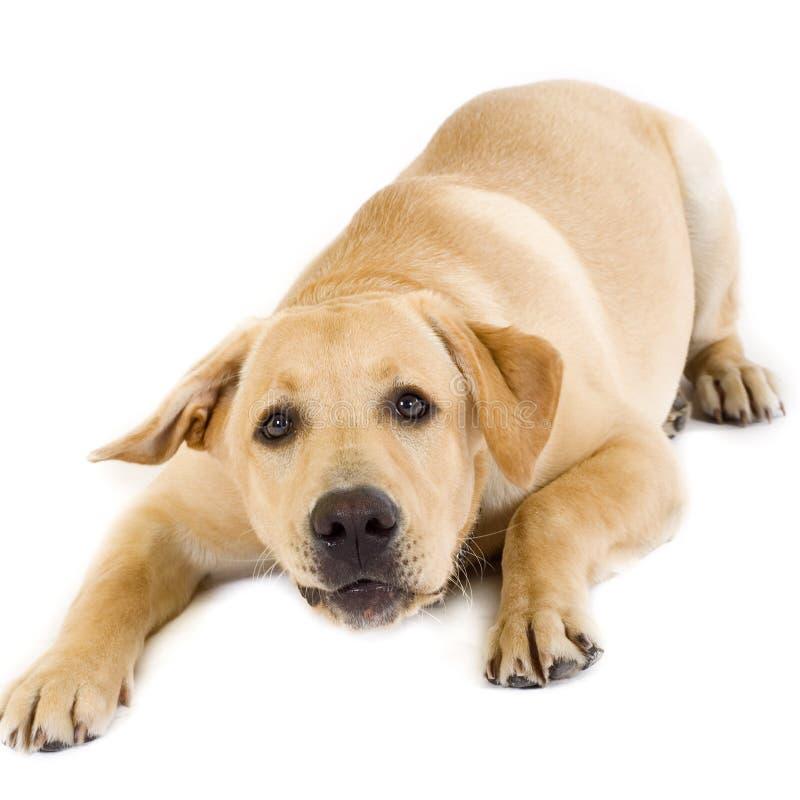 бдительный retriever щенка labrador стоковые изображения