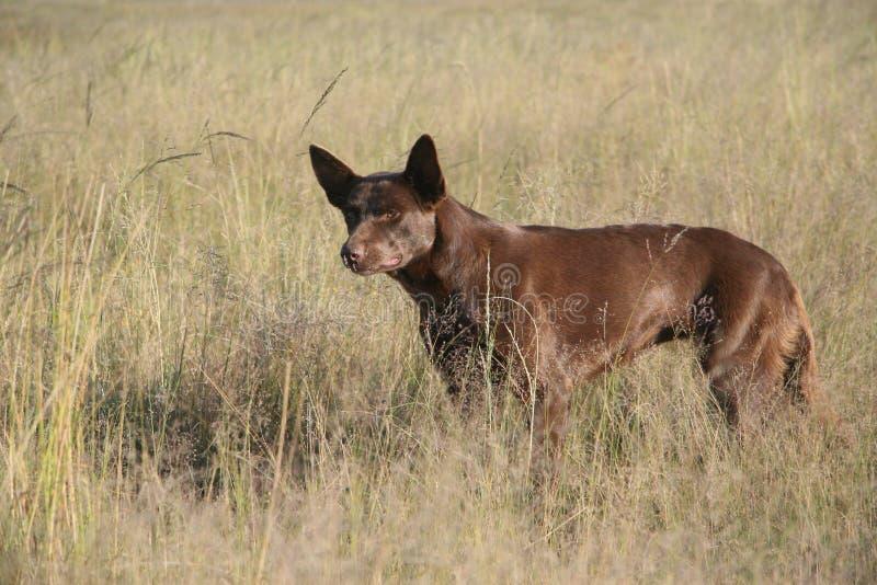 бдительный sheepdog kelpie стоковая фотография rf