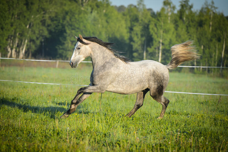 Бега белой лошади gallop на лужке стоковые изображения rf