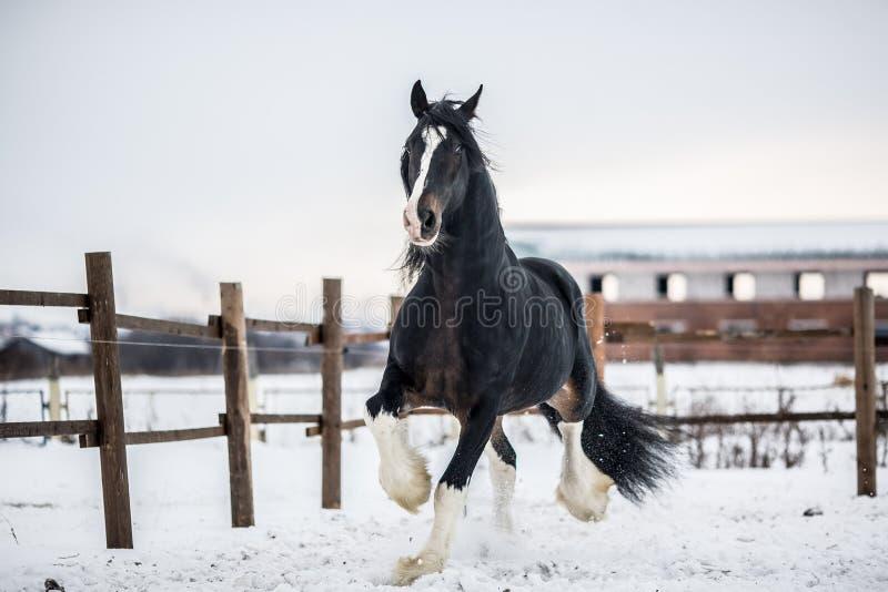Бега лошади графства вокруг покрытого снег поля стоковые изображения