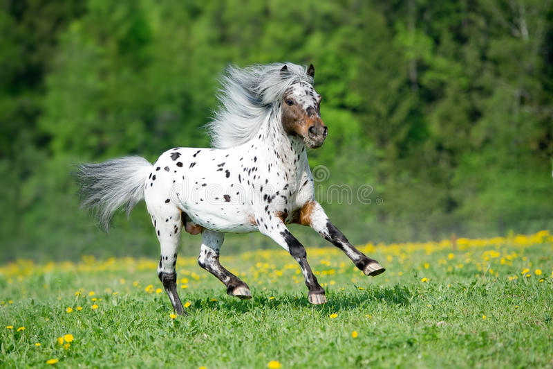 Бега лошади Appaloosa скакать на луге в временени стоковое фото rf