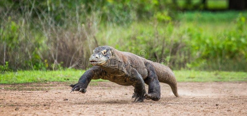 Бега дракона Komodo вдоль земли Низкая стрельба пункта Динамическое изображение Индонезия Национальный парк Komodo стоковые фото