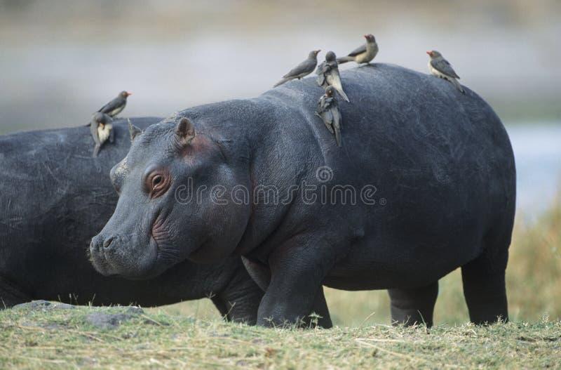 Бегемот (бегемот Amphibius) с птицами дальше подпирает стоковые изображения rf