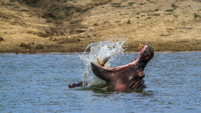 Бегемот в национальном парке Kruger, Южной Африке стоковое фото