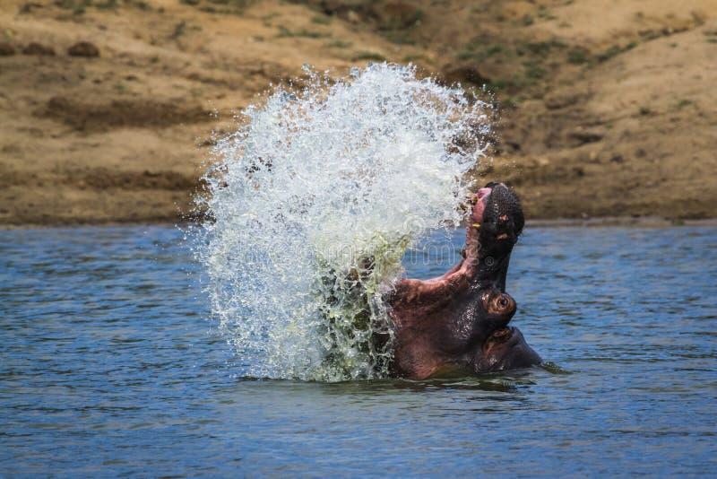 Бегемот в национальном парке Kruger, Южной Африке стоковое изображение rf