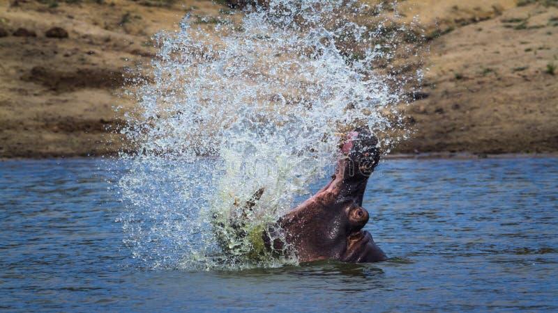 Бегемот в национальном парке Kruger, Южной Африке стоковое фото rf