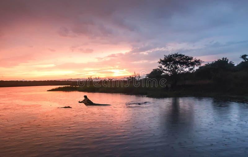 Бегемот в Ниле на восходе солнца на падении Murchison стоковая фотография rf