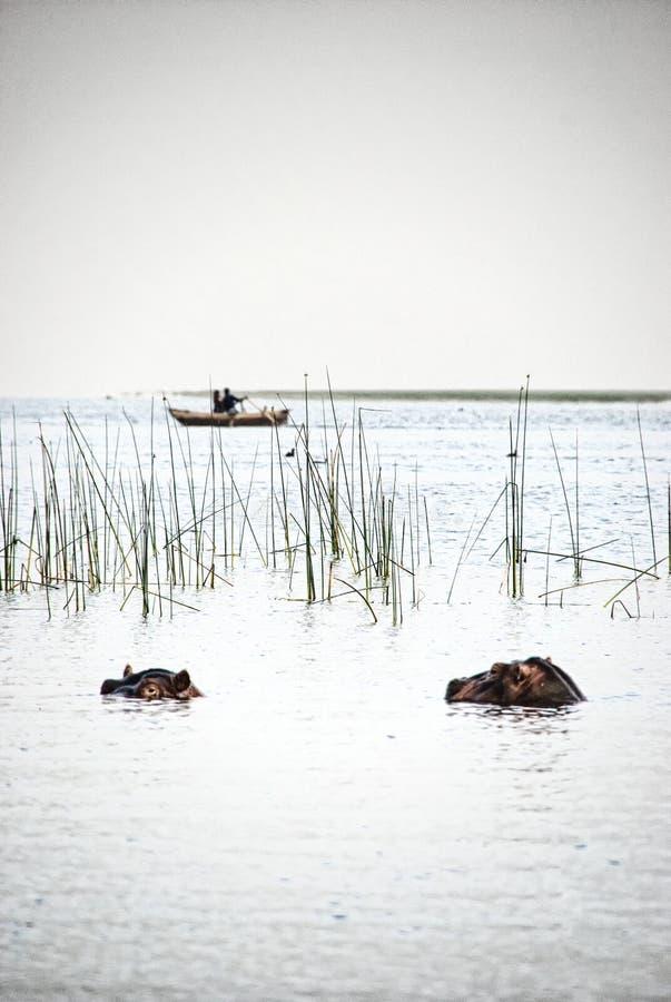 Бегемот на озере Awassa, Эфиопии стоковое фото