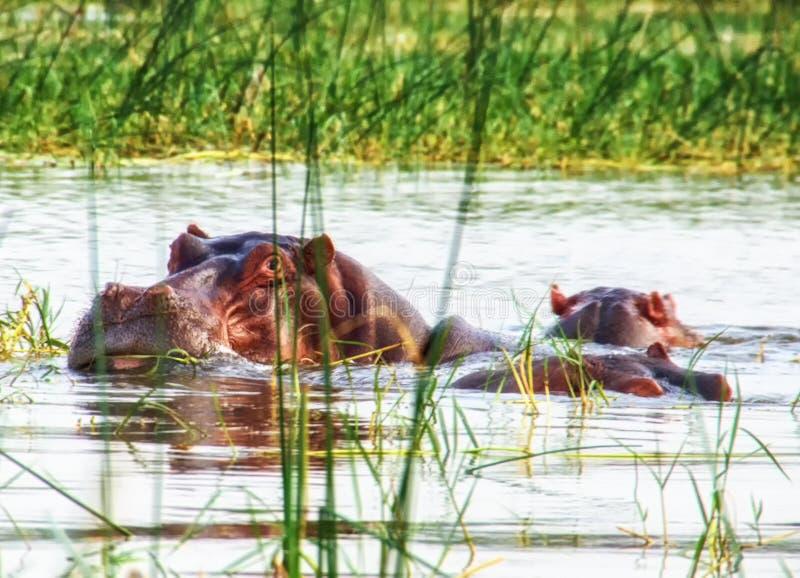 Бегемот на озере Awassa, Эфиопии стоковые фотографии rf