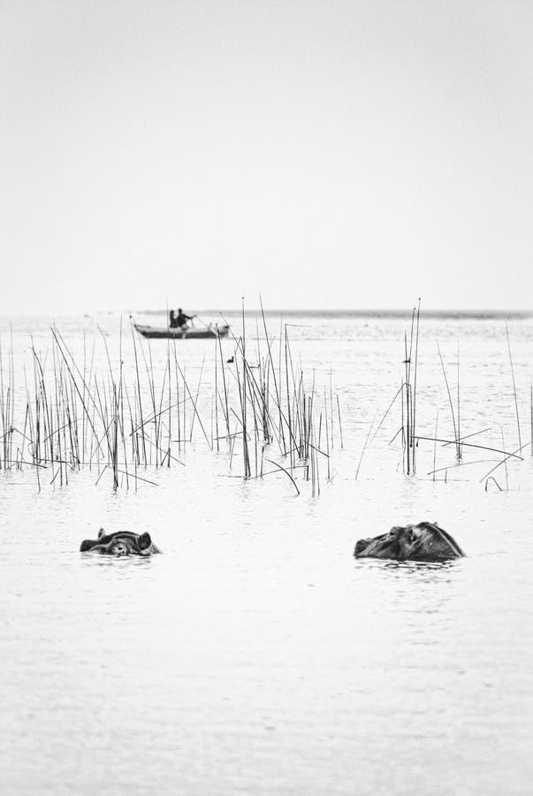 Бегемот на озере Awassa, Эфиопии стоковое изображение