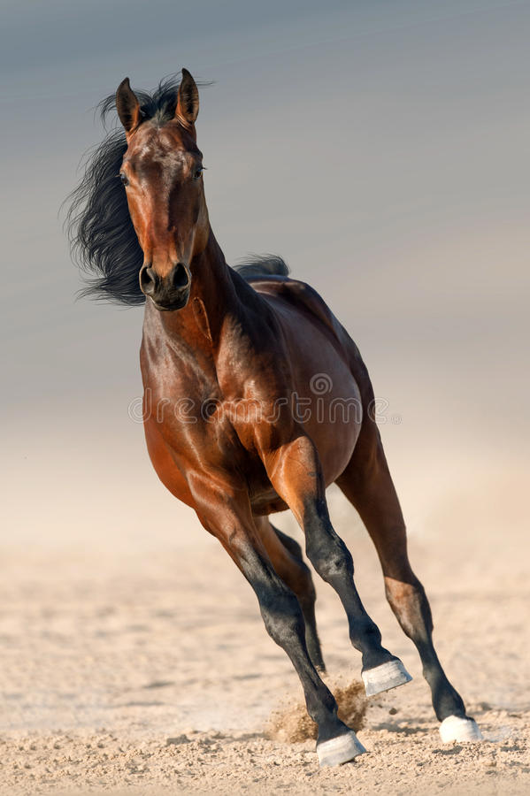 Бег лошади залива стоковая фотография
