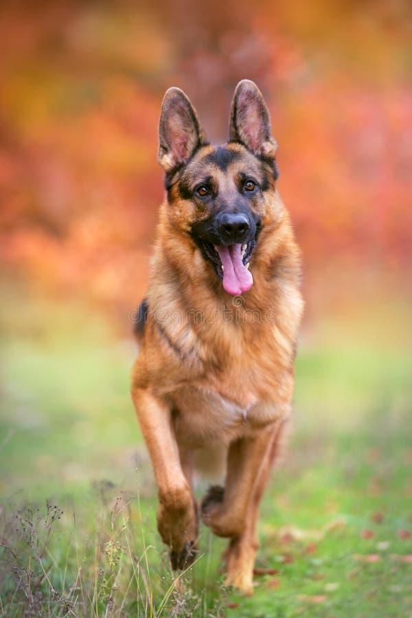 Бег собаки немецкой овчарки стоковое фото rf