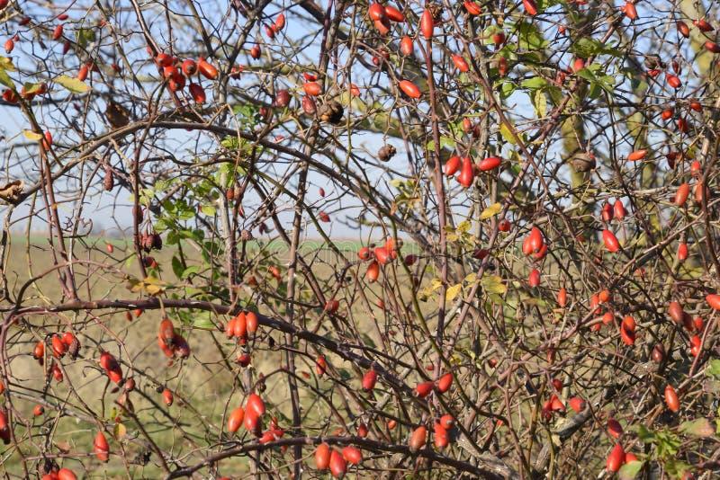 Бедра bush с зрелыми ягодами Ягоды dogrose на кусте Плодоовощи одичалых роз Терновое dogrose красный цвет вальм поднял стоковые фотографии rf