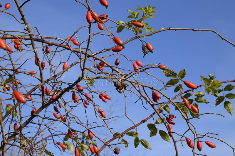 Бедра bush с зрелыми ягодами Ягоды dogrose на кусте Плодоовощи одичалых роз Терновое dogrose красный цвет вальм поднял стоковые фото