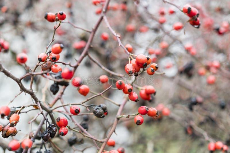 Бедра bush с зрелыми ягодами Ягоды dogrose на кусте Плодоовощи одичалых роз Терновое dogrose красный цвет вальм поднял Красный стоковое фото