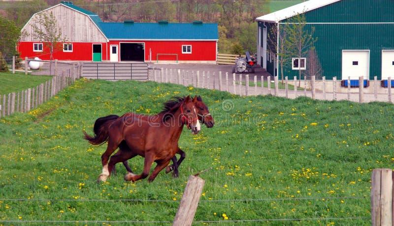 бежать лошадей стоковые фотографии rf