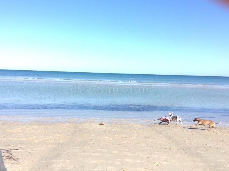 бежать собак пляжа стоковые изображения