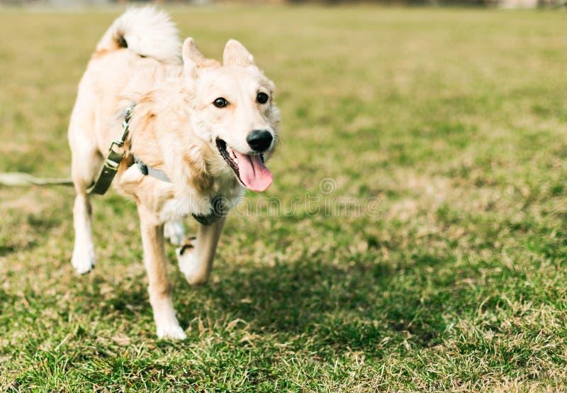 Бежевая собака, бега laika вдоль травы стоковые фотографии rf