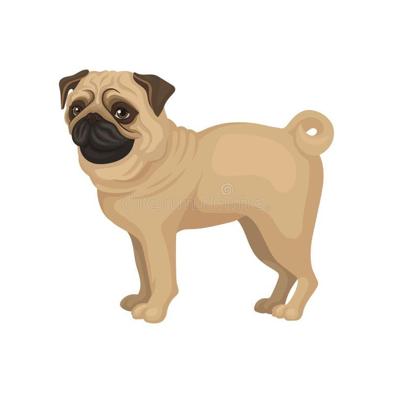 Бежевое положение щенка мопса изолированное на белой предпосылке Собака с смешным сморщенным намордником и завитым кабелем Плоски иллюстрация штока
