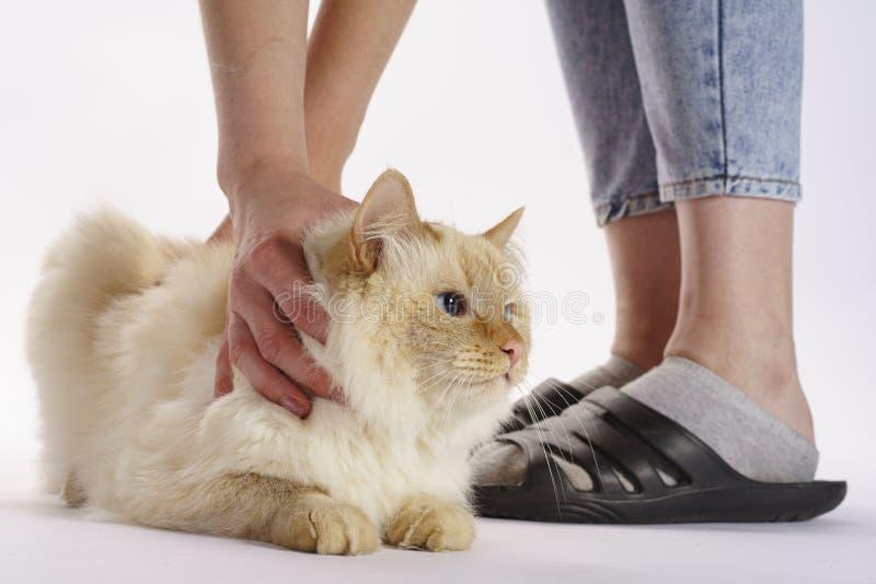 Бежевый кот держать его руки поэтому его не смог избегать стоковая фотография