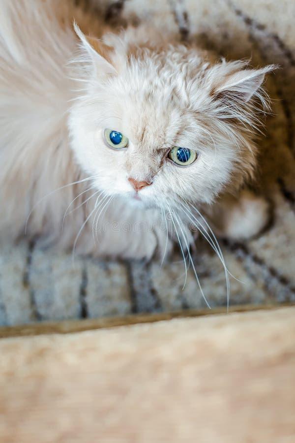 Бежевый персидский кот стоковое изображение