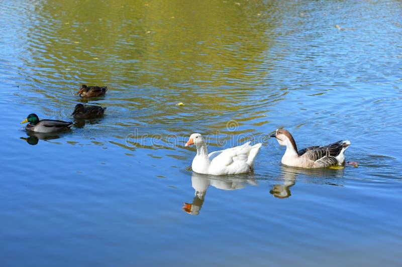 Безбоязненные дикие утки и гусыни грациозно скользят воды стоковое фото