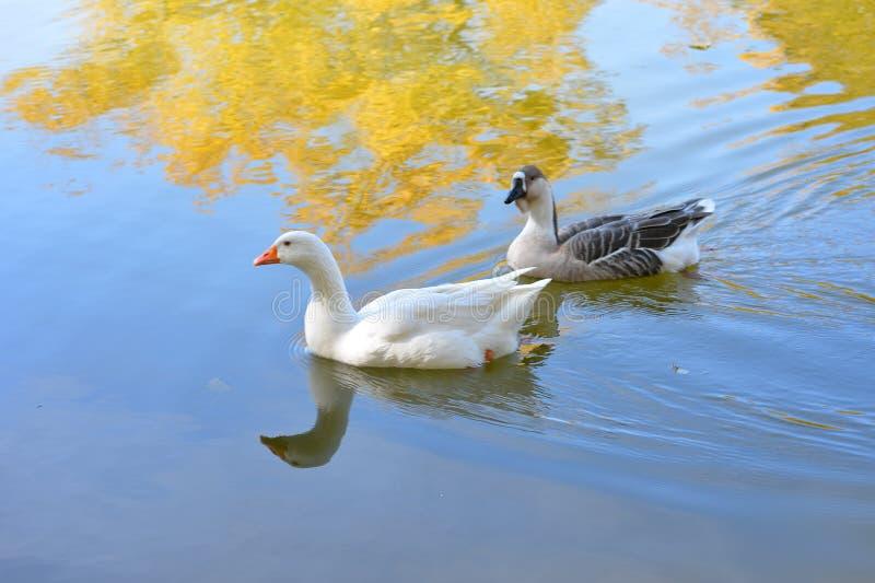 Безбоязненные дикие утки и гусыни грациозно скользят воды стоковое фото rf