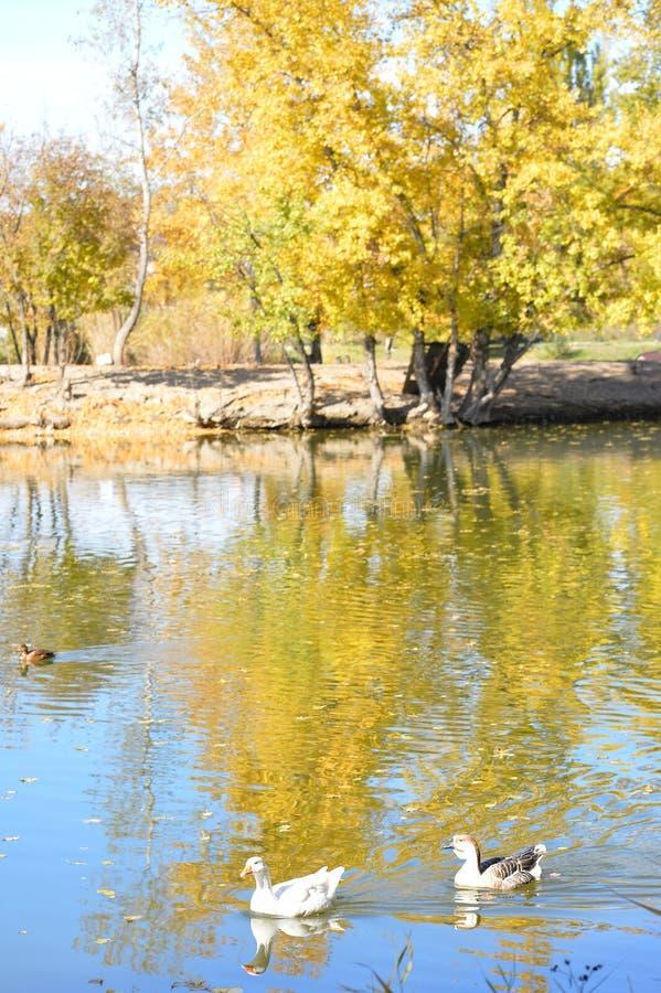 Безбоязненные дикие утки и гусыни грациозно скользят воды стоковая фотография rf
