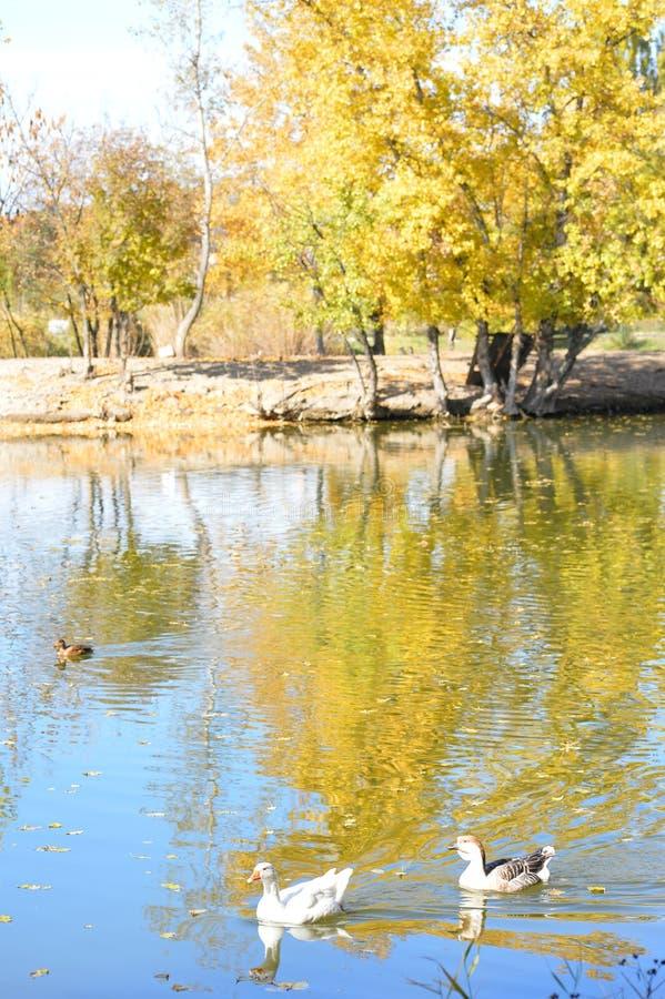 Безбоязненные дикие утки и гусыни грациозно скользят воды стоковая фотография