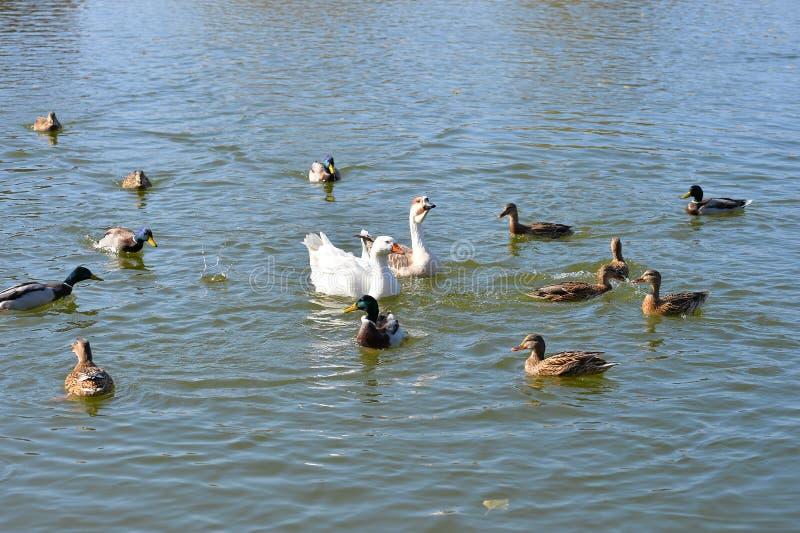 Безбоязненные дикие утки и гусыни грациозно скользят воды стоковые изображения rf