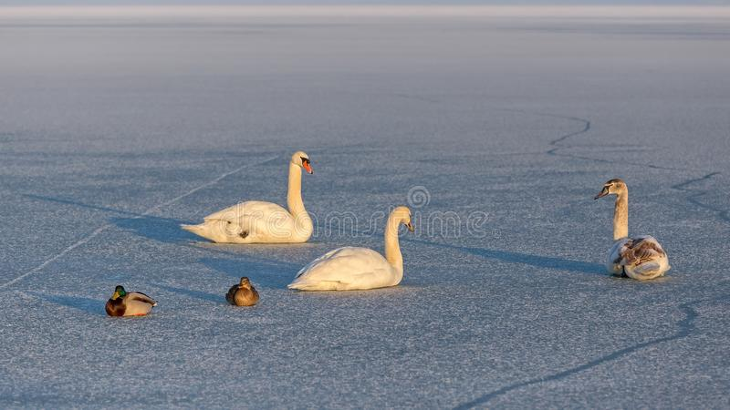 Безгласные лебеди и дикие утки на льде озера Balaton в Венгрии стоковое фото